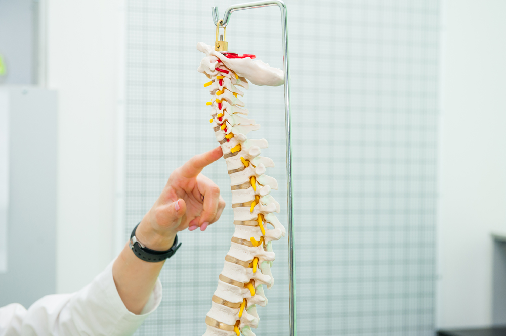 Chiropractor inspecting spine model